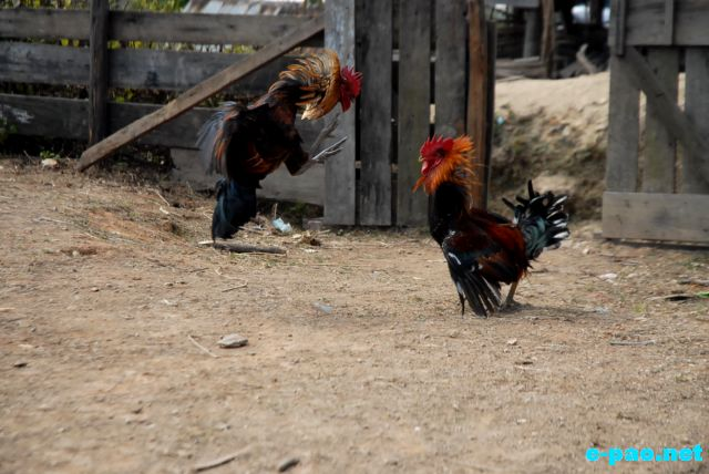Cock Fighting as witnessed at Maokot, Indo-Burma Border (Ukhrul District) :: January 2011