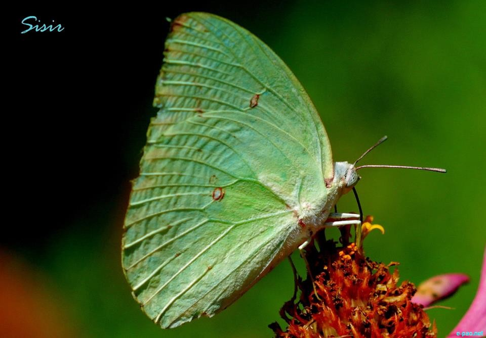 Butterfly as taken by Sisir Banga :: 2012