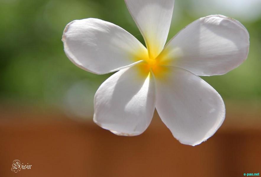 Khagi Leihao (Frangipani/Plumeria) - Flora Pictures from Manipur as taken by Sisir Banga  :: 2012