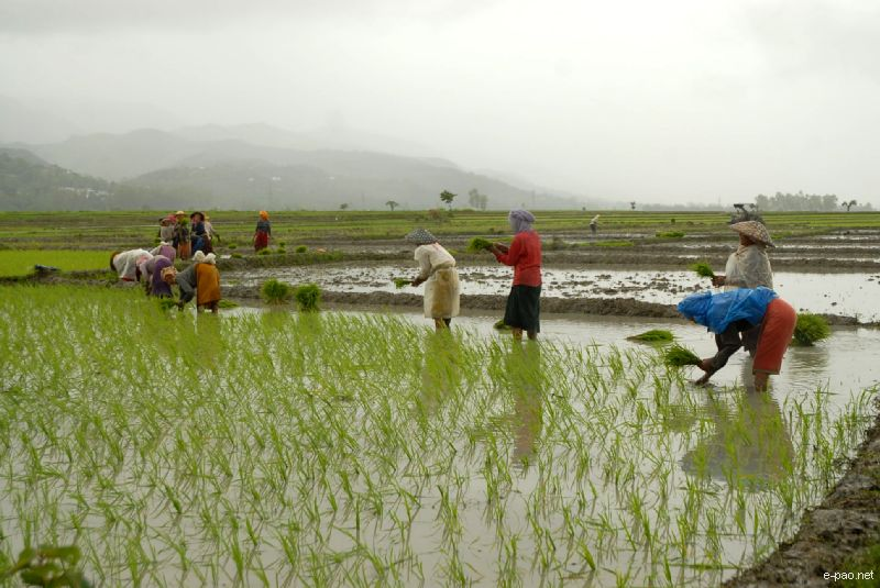 Women planting rice at a Paddy Field :: June 2010