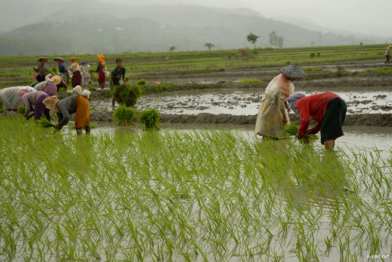 Manipuri Women hard at work at a Paddy field planting the rice sometime in the 3rd week of June 2010