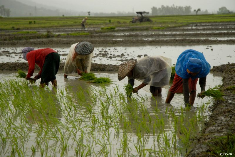 Farmers planting rice at a Paddy Field :: June 2010