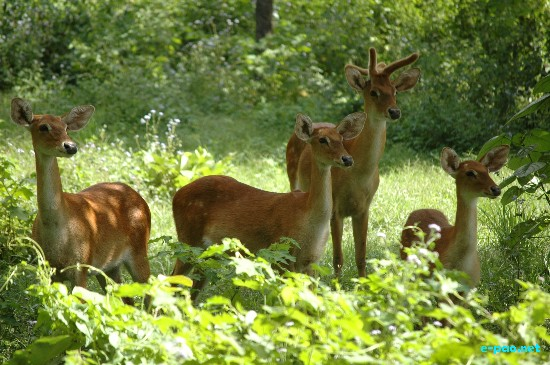 Sangai : The endemic, rare and endangered Manipur Brow-antlered deer  in February 2009