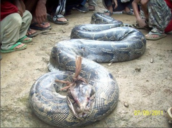 The python which was snared by hunters at Ukhrul