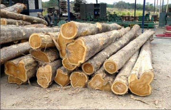 Cut teak logs in a forested region