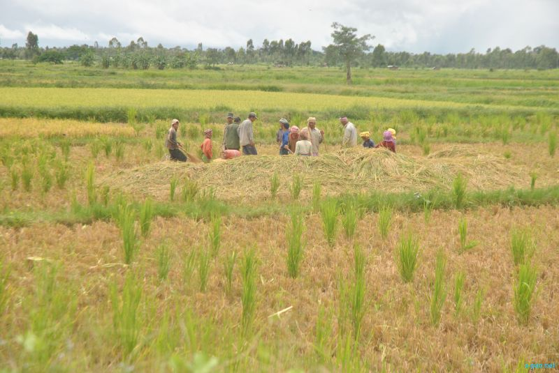 The condition of Paddy field in Thoubal in last week of July 2012