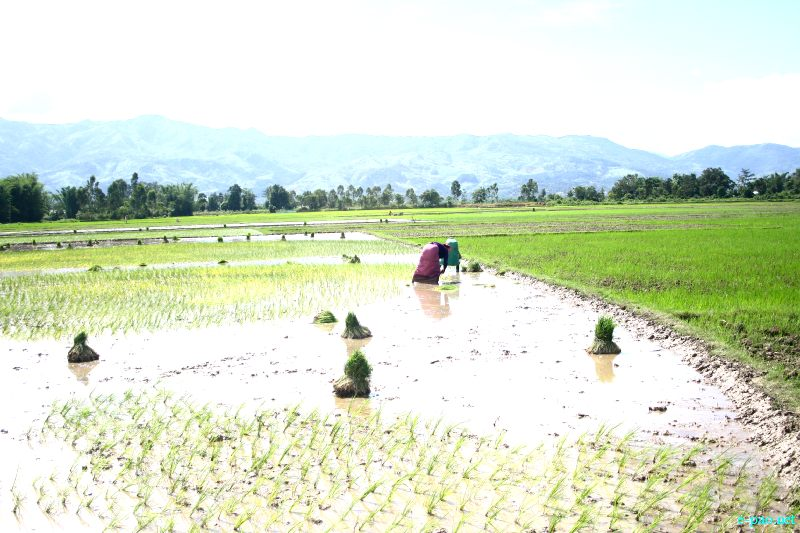 Drought looming : The condition of Paddy field in Nambol Areas :: last week of July 2012