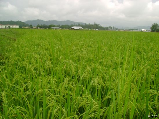 Rice Field at the foot of the Cheirao Ching in October 2008