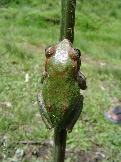 A frog  that is found in Koubru hills ( 2005)