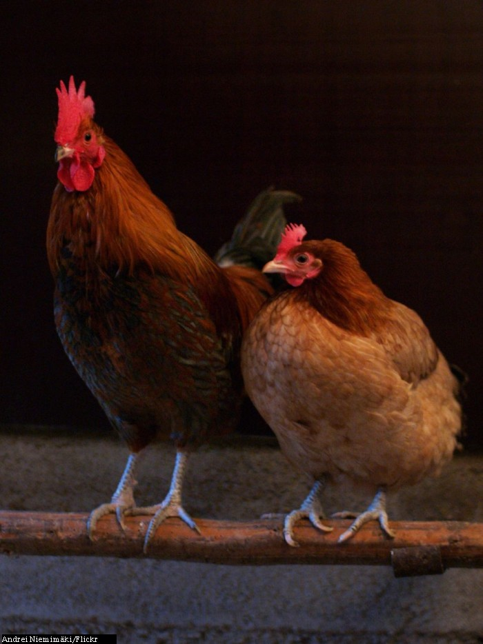 A rooster (left) and hen (right)